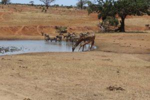 kenija safari divljina
