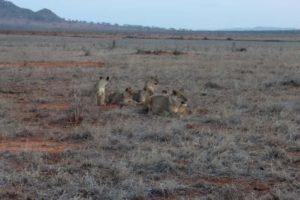 kenija zivotinje